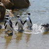 Penguins, Animal