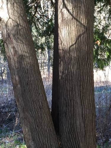 Thick Tree Trunks with Amazing Texture of Bark