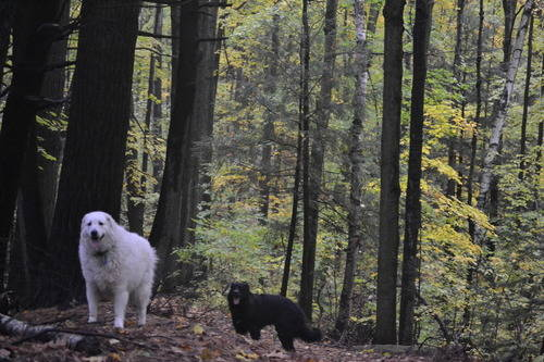Dogs at Oak Ridges Forest in the Fall Season