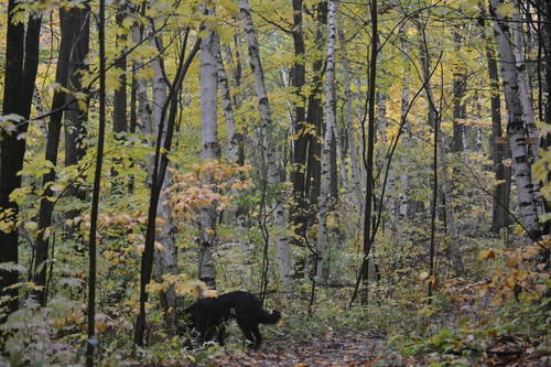 Beautiful Black Dog at Oak Ridges Forest