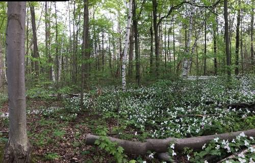 White and Pink Trilliums in Bloom