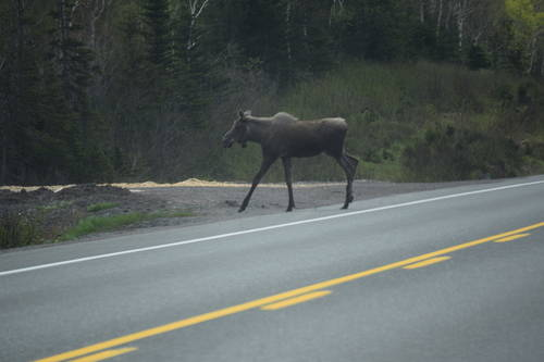 Moose Crossing the Road in Newfoundland