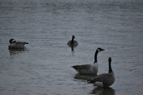 Canadian Geese in Lake Wilcox