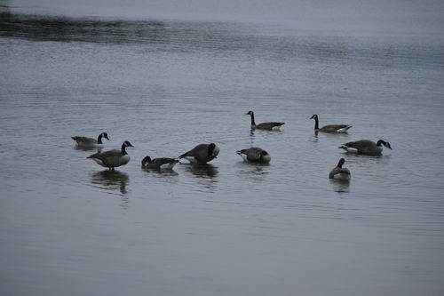 Canadian Geese in a Circular Formation