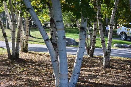 Birch Tree, Nature