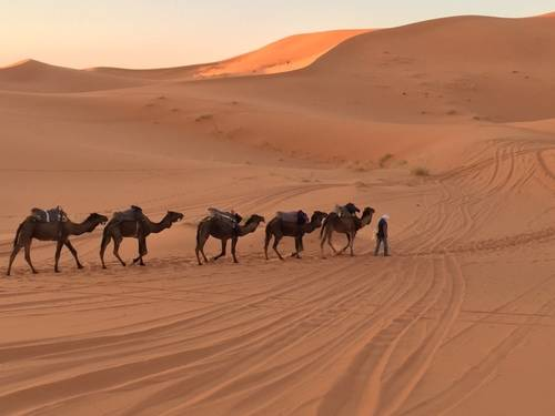 Camels Walking, Morocco