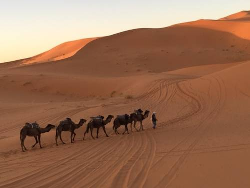 Camels Walking Through the Desert In Morocco