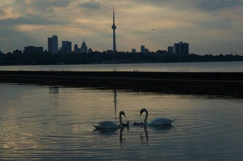 Swans and CN Tower, Wildlife