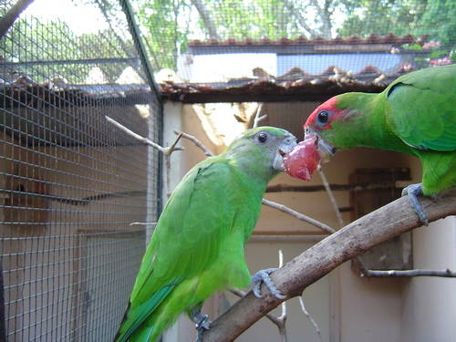 Two Green Birds Eating A Grape