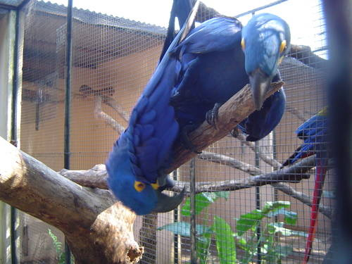 Two Blue Parrots Fighting