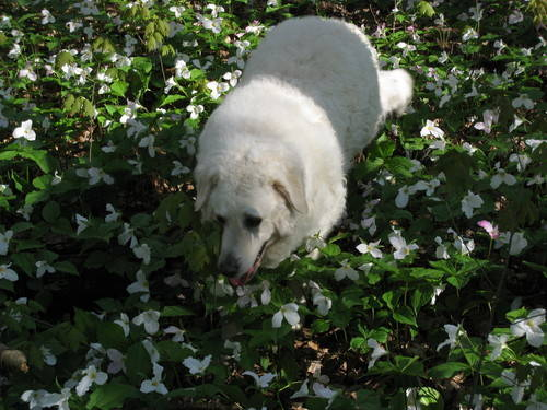 White Dog In bush Of Flowers