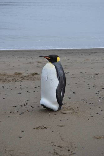 Penguin on the Beach in Argentina, Wildlife