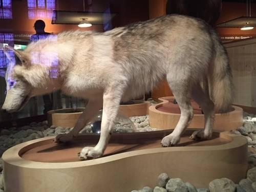 Coyote, Animal At ROM