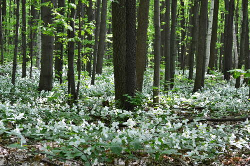 White Flowers, Forest