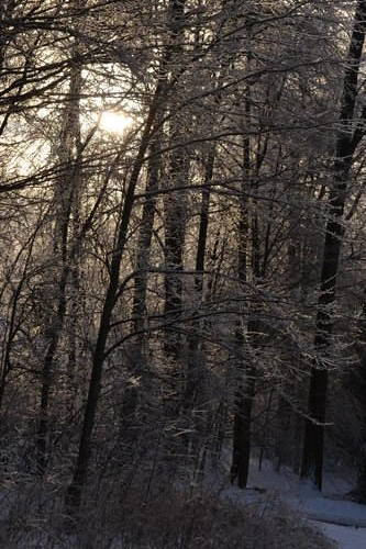 Forest Of Frozen Trees