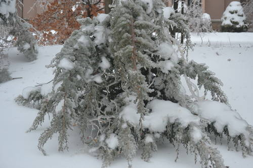 Frozen Pine Tree
