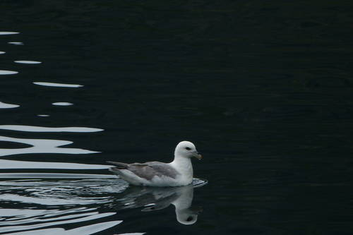 Seagull Swimming, Iceland