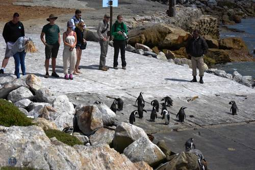 Penguins, Western Cape