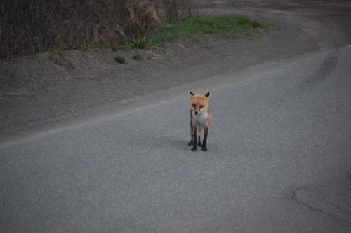 Fox in Newfoundland