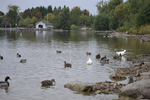 Ducks in Lake Wilcox
