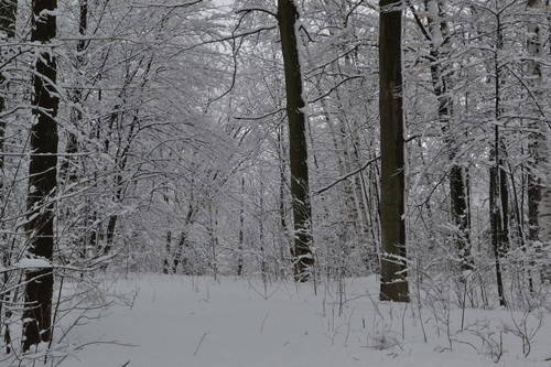 Forest Of Snow